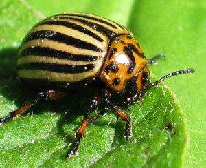 Заокеанский гость – колорадский жук