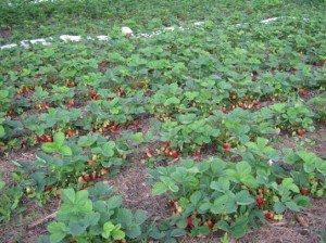 Клубника — выращивание и уход:  видео
