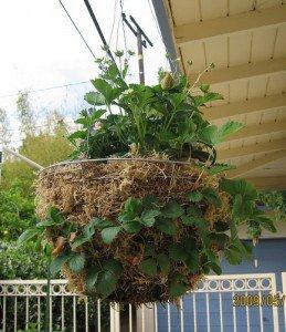 Выращивание клубники в домашних условиях – увлекательное занятие для всей семьи