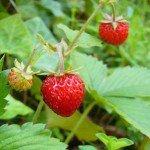Выращивание клубники в теплице: радость и сладость круглый год