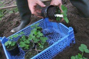 Выращивание рассады клубники из семян – подробное описание процесса